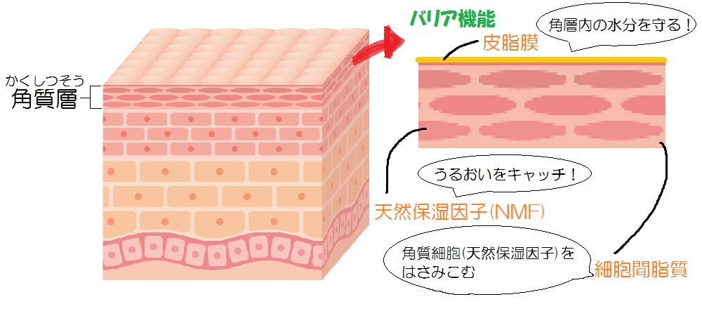 バリア機能 皮脂膜 天然保湿因子 細胞間脂質