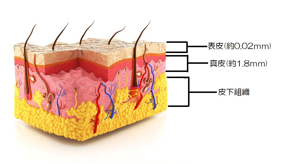 角層 真皮 皮下組織