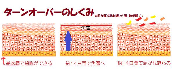 ターンオーバー 角層 表皮