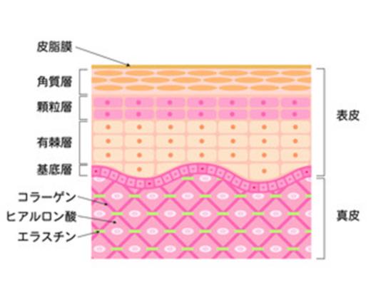 コラーゲン 表皮